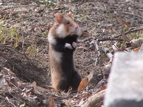 Wilde hamster