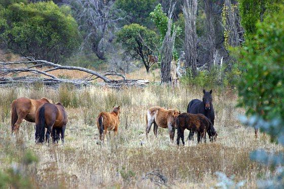 Wilde paarden Australië