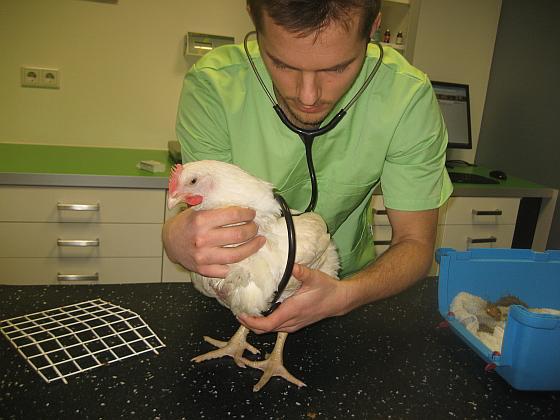 Winnie bij de dierenarts - Winnie, een gered vleeskuiken