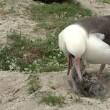 Oudste vogel ter wereld (65) krijgt kuiken