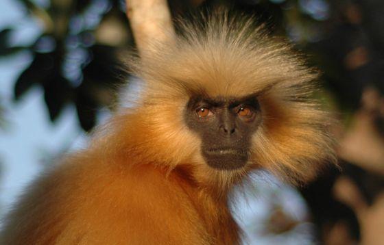 witkoplangoer aap bevalling