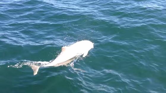 witte bruinvis