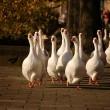Meisjes succesvol in strijd tegen ganzenmoord