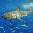 Witte haai vogelvrij verklaard