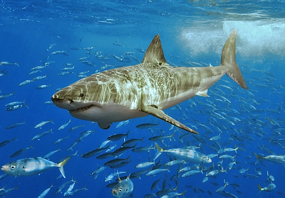 Witte haai sterft