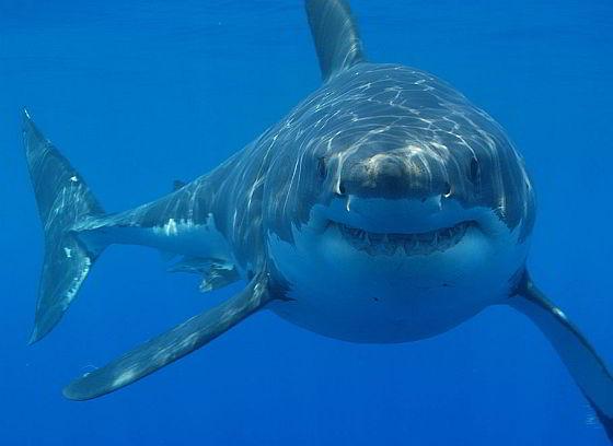 Witte haai haaienlevertraan
