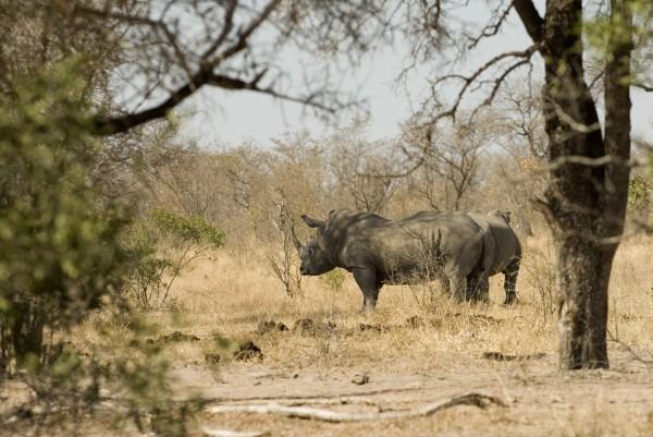 Witte Neushoorn ivoorhandel