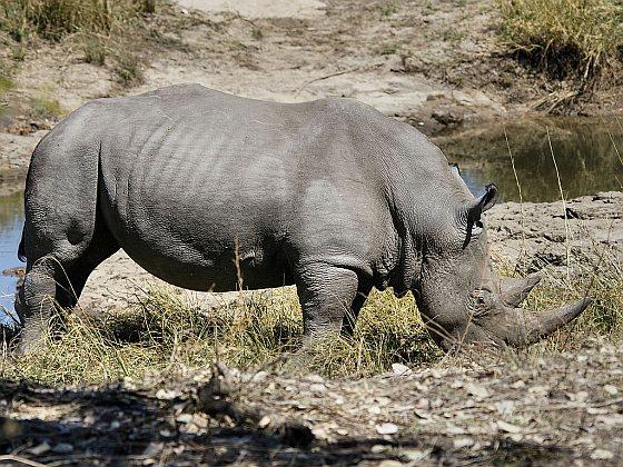 Witte neushoorn - Zuid-Afrika