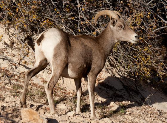 woestijndikhoornschaap