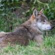 Wie heeft de gouden tip over doodgeschoten wolvin?