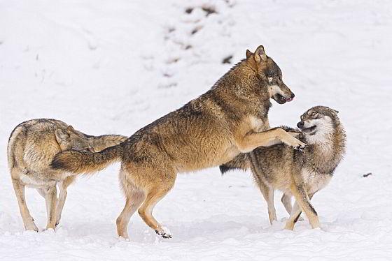 Wolf Noorwegen
