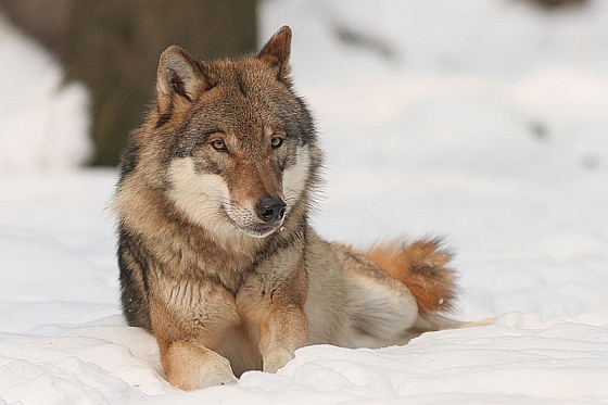 Wolf - wolven