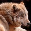 Wolf gesignaleerd vlak bij Nederlandse grens