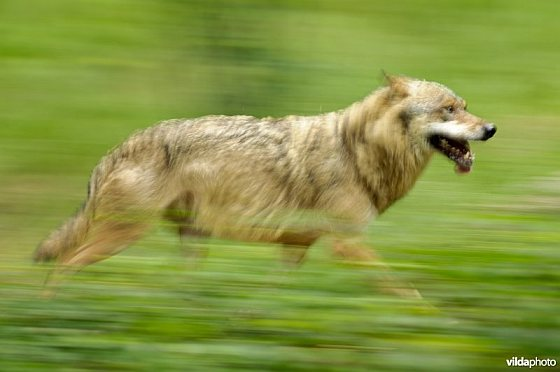 Dravende wolf