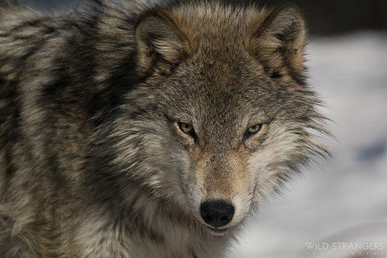 wolvenjacht