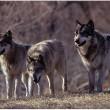 Duitse gemeente Goldenstedt wil af van roedel wolven