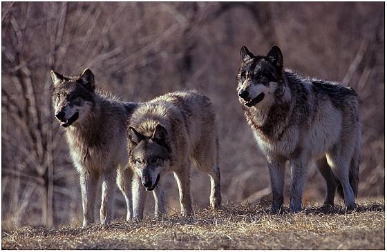 Wolvenfamilie