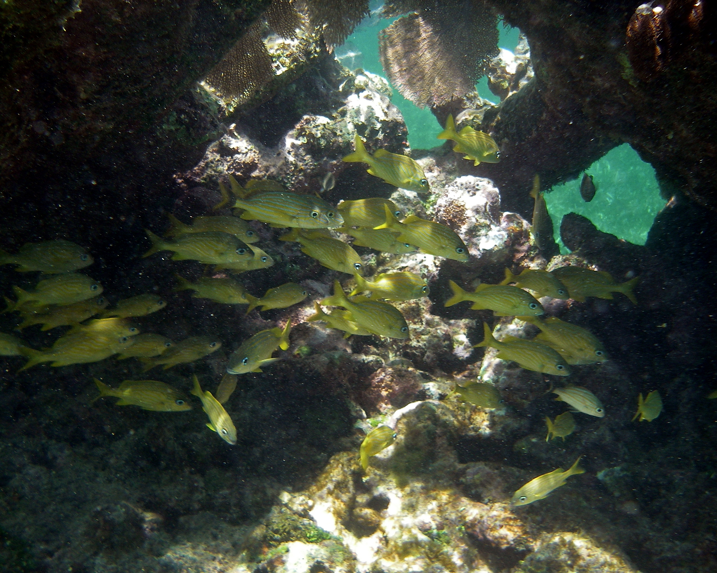 Yellow Fish in Coral Reef