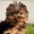 Politie neemt wederom honden in beslag bij handelaren