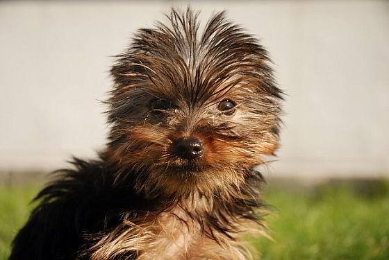 Yorkshire terriër-pup - wederom honden in beslag
