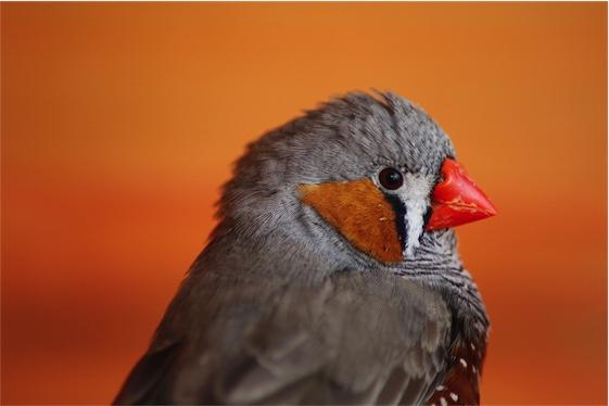Zebravink - vogelzang
