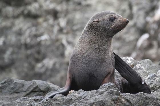 Guadalupe-zeeberen