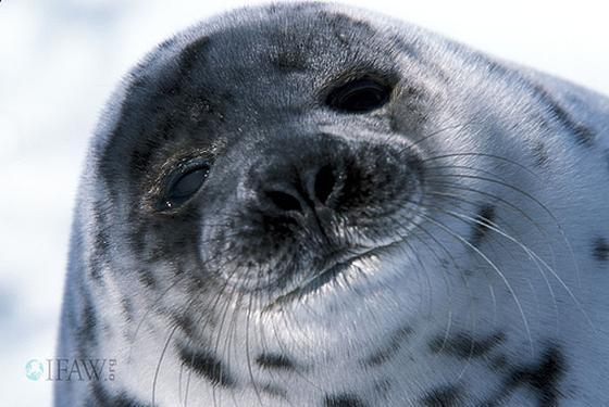 zeehondenbont