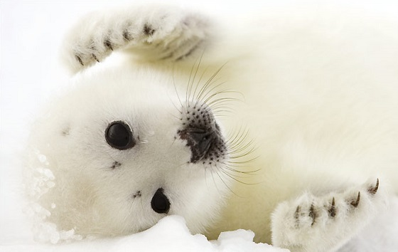Noorse zeehondenjacht - penis van zeehond