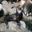 Zeeleeuwen moeten WK onder aandacht brengen in Japan
