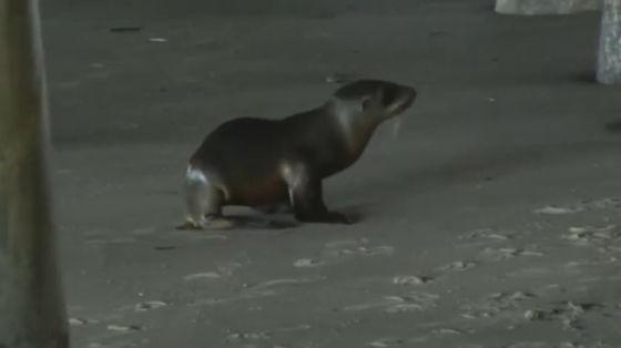 zeeleeuwenpups