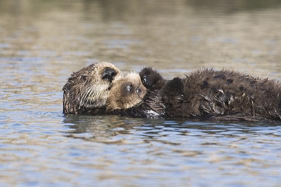 Zeeotter met jong