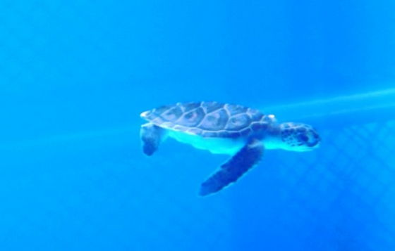 zeeschildpad flippy