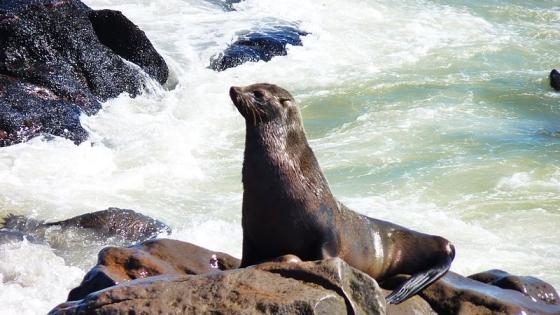 zuid afrikaanse zeehond