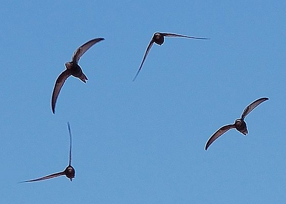 Zwaluwen in vlucht