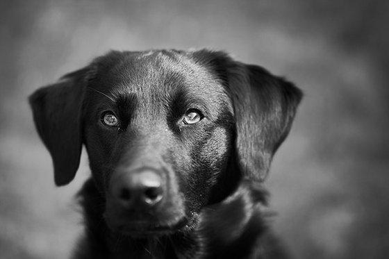 stoplicht Orlando labrador dierproeven