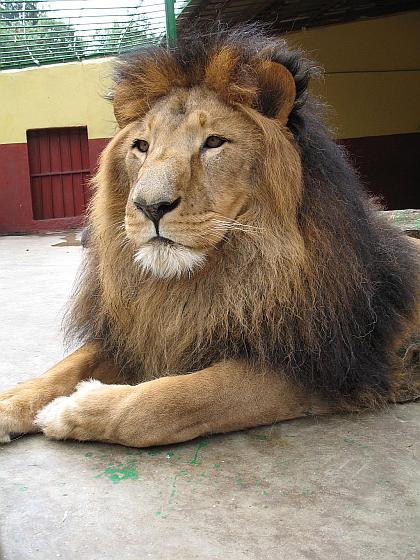 Zwarte manen leeuw