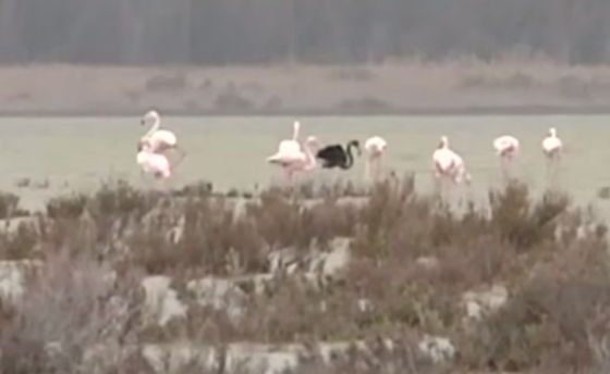 zwarte flamingo