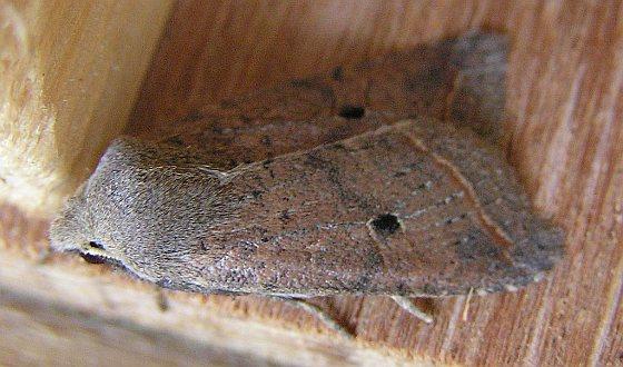 Zwartstipvlinder