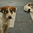 Valse claim leidt tot doodstraf tienduizenden zwerfhonden