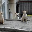 De honden van Tsjernobyl