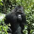 Mensapen met uitsterven bedreigd, aantal reuzenpanda's neemt toe