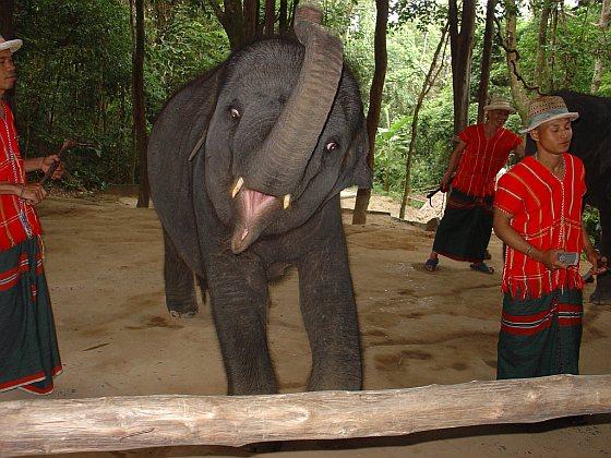 Jonge olifant, Thailand - Edwin Wiek