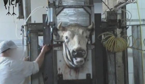 Koe wordt ritueel geslacht