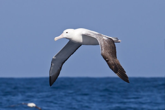 Souther Royal Albatross - albatrossen