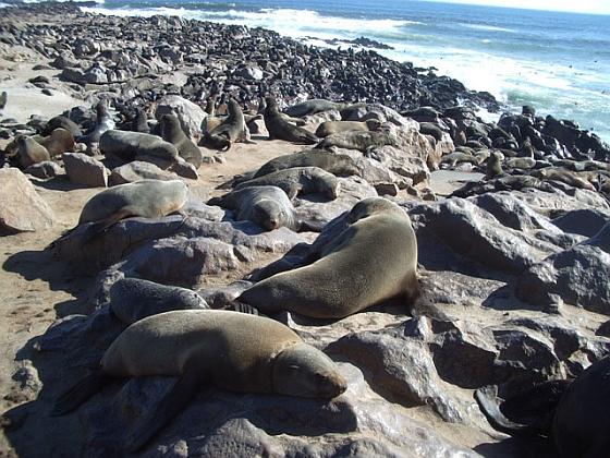 Zeehonden Cape Cross